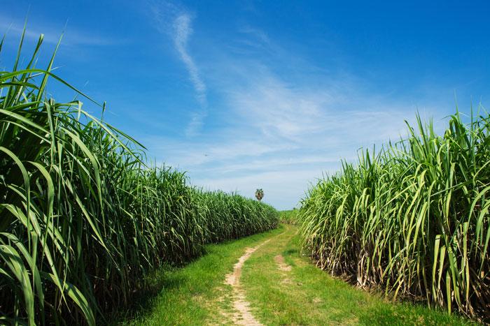 Champs de canne à sucre à explorer en Guadeloupe