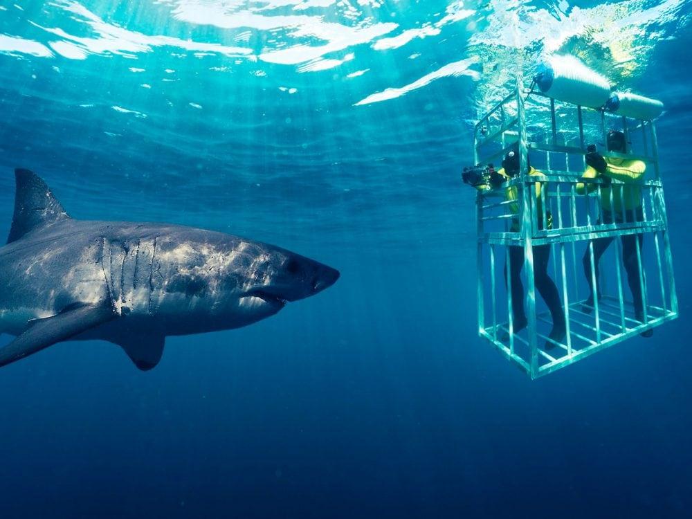 Observer les requins blancs à Gansbaai, en Afrique du sud