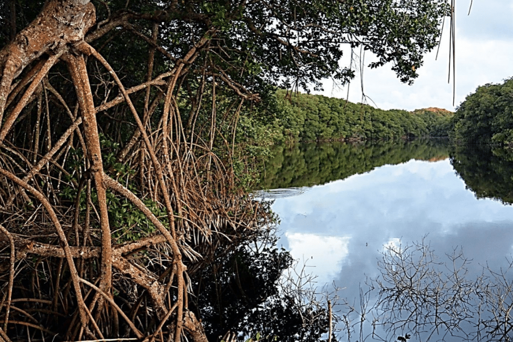 Mangrove de la riviere Vieux Fort à Marie Galante